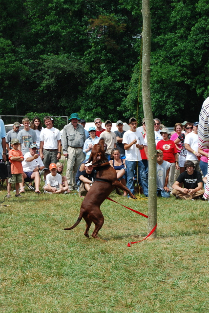 Redbone Coonhound Treeing A Coon A highlight of each coon dogRedbone Coonhound Treeing